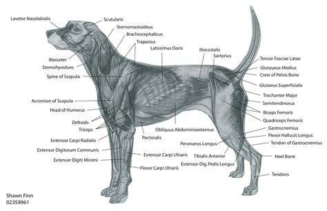 puppy anatomy canine muscular anatomy muscles diagram http www pic2fly muscles