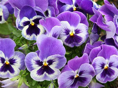 fiori viola significato la viola pensiero donna moderna