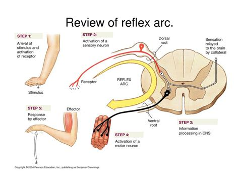 spinal reflex diagram chapter 14 cns structures at collin county community