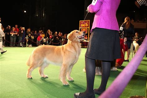 westminster show golden retriever 35 best images about westminster show on a pug show and