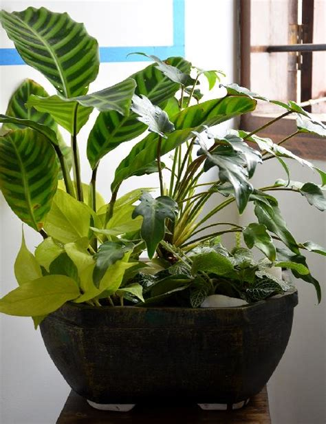 live indoor plants live bouquet in ceramic bowl only for bangalore delivery
