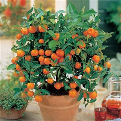 albero in vaso consigli di gennaio per orto piante aromatiche e agrumi