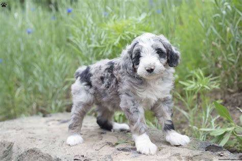 aussiedoodle puppies for adoption aussiedoodle rescue dogs for adoption aussiedoodle meet buster a puppy for adoption