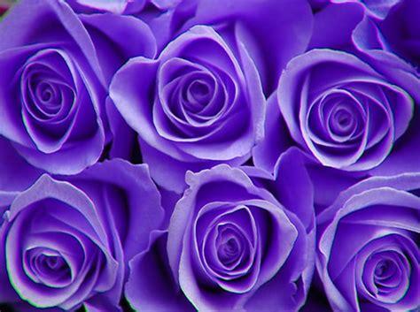 imagenes de rosas moradas wallpapers foto de rosas moradas imagui