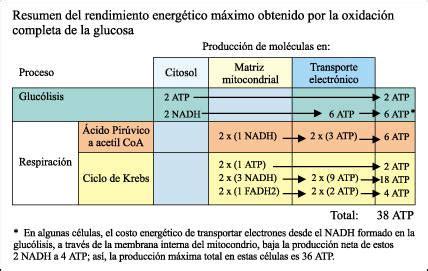 Nesco Colesterol cap 237 tulo 8 gluc 243 lisis y respiraci 243 n