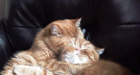 quanto vivono i gatti persiani gattini fratelli coccolosi tutto ze
