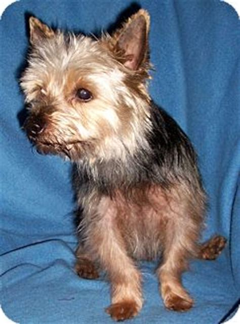 yorkie rescue tn maxx adopted tn yorkie terrier mix
