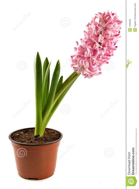 Indoor Decorative Plants Planta De Interior Jacinto Decorativa Imagen De Archivo
