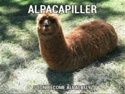 alpaca puns kappit