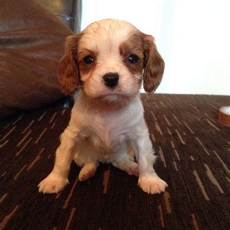 king charles puppies for sale beautiful cavalier king charles puppies for sale widnes cheshire pets4homes