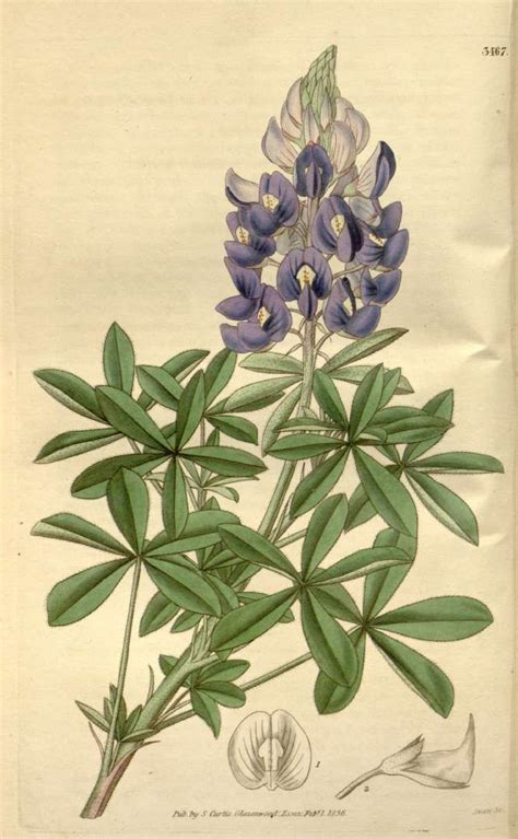 botanical illustration tattoo bluebonnet botanical illustration things i want
