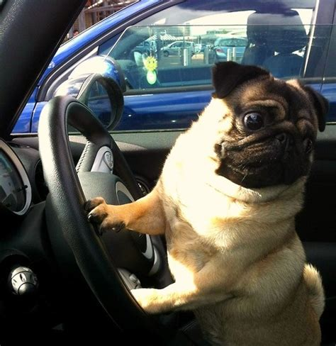 pugs in the car 17 best images about must pugs on cars pug dogs and animals