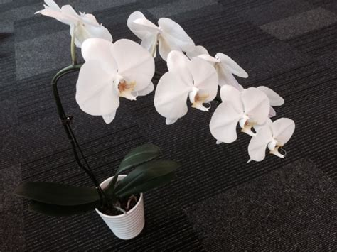 White Orchid Flower (PYR908) ? Orchid Hub