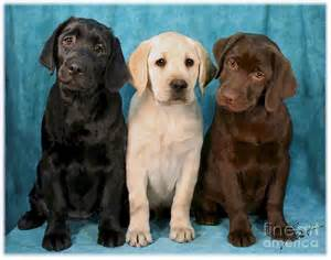 color labs winkin blinkin and nod lab puppies digital by maxine