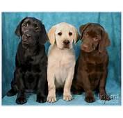Artikel Terkait Labrador Retriever Puppies All Colors