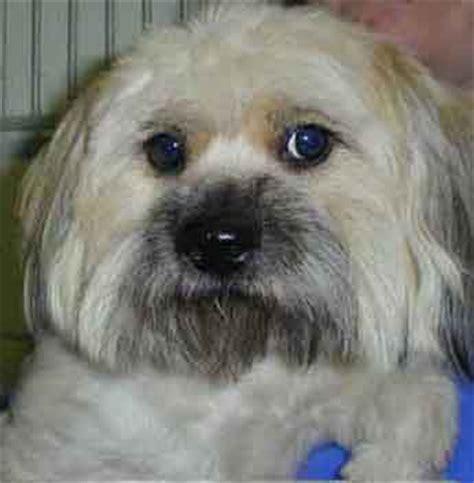 colorado shih tzu maltese rescue shih tzu rescue lhasa apso rescue adopt shih tzu adopt breeds picture
