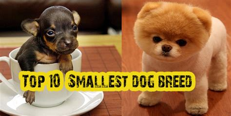 what is the smallest breed top 10 breed of the world breeds picture