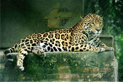 the jaguar tycoon books predators s sloths