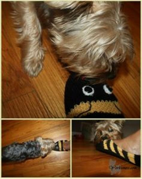 yorkie biting 1000 images about s yorkieness on yorkie yorkies and