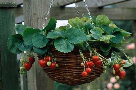 hanging strawberry planter plant a strawberry hanging basket gardenersworld