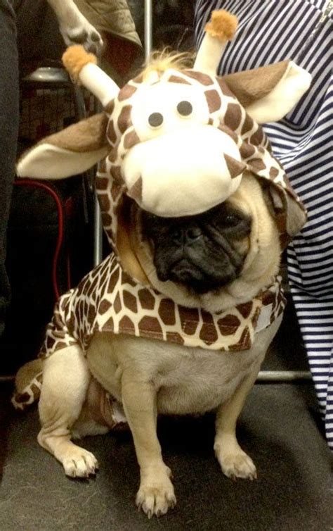 pugs in costumes pictures 224 best pug clothes and costumes images on pug dogs pug pictures