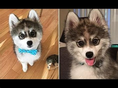 where to find a pomeranian husky meet the adorable pomeranian husky pomsky puppy norman