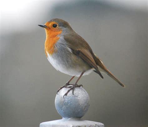 robin red breast by noblehalf on deviantart