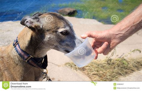 retired dogs retired greyhound water royalty free stock photography image 20985857
