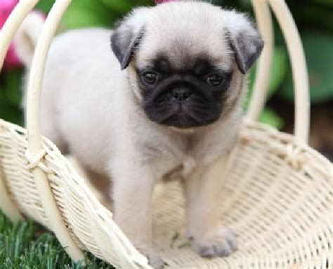 pug puppie for sale pug puppies for sale 9 background wallpaper dogbreedswallpapers