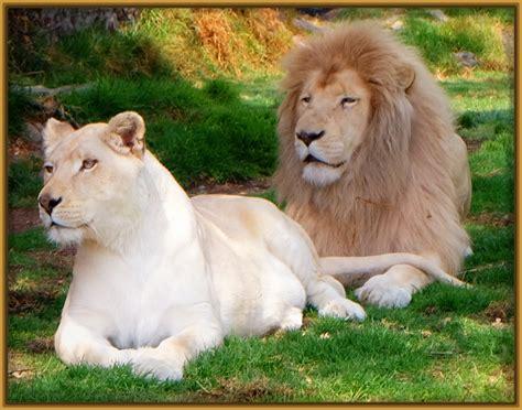 imagenes leones tristes fotos de leone s enojados pictures to pin on pinterest