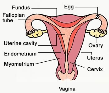 diagram of reproductive organs labeled reproductive system diagram jpg the