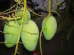 berbagai macam budidaya berbagai macam jenis buah mangga komersial berbagai