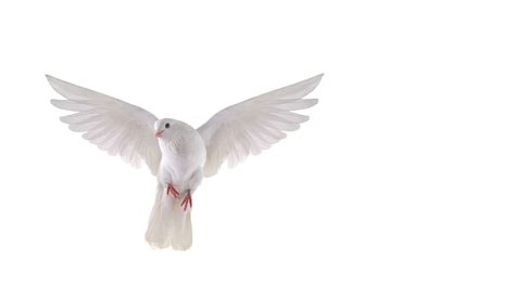 images of doves dove wallpapers comics hq dove pictures 4k wallpapers