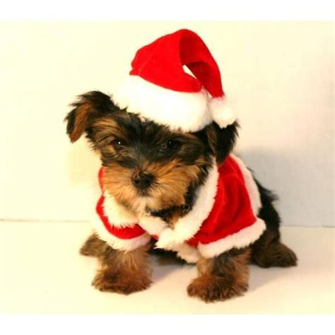 teacup yorkie dogs 101 101 best yorkie style images on yorkie yorkies and animal