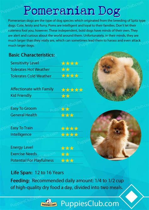 temperament of pomeranian pomeranian dogs breed information personality pictures