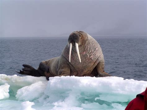 spitsbergen kvitoya expedition cruise specialists