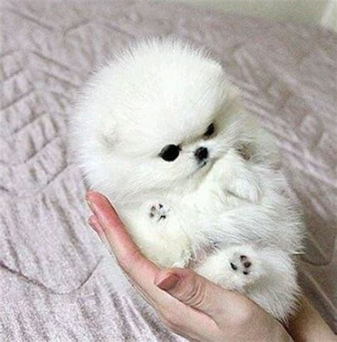 how much is a teacup pomeranian puppy white photo of white teacup pomeranian jpg