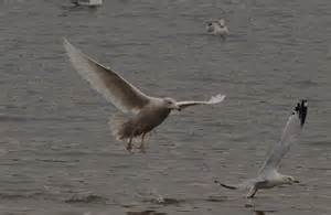 bird sightings glaucous gull dog breeds picture