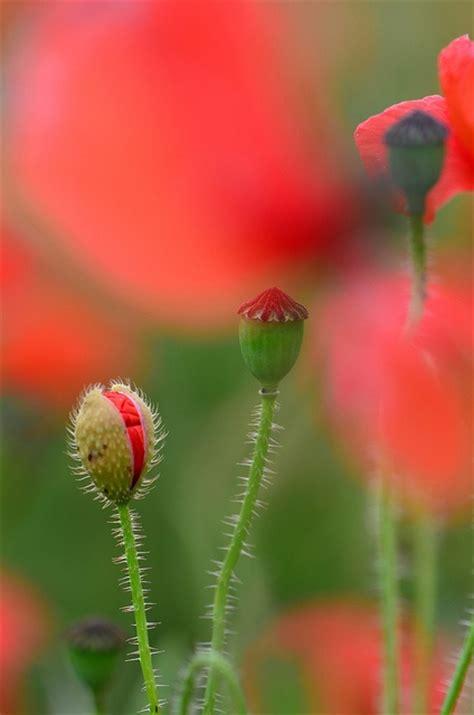 poppy explained poppies my ultimate favorite flower garden pinterest