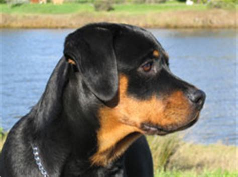 american rottweiler breeders associated rottweiler fanciers of northern california