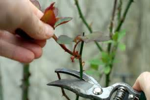 how to prune knockout roses how to purne hq