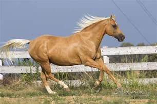 palomino horses castellare di tonda quarter horses