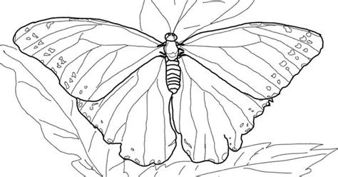 rainforest butterfly coloring pages blue morpho butterfly super coloring rainforest