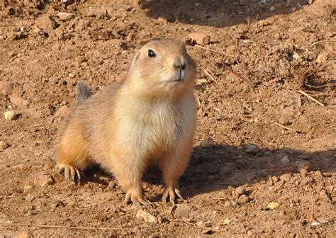 prairie dogs prairie dogs come to sheffield welcome to