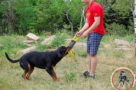how strong is a rottweilers bite order linen rottweiler bite tug two handles