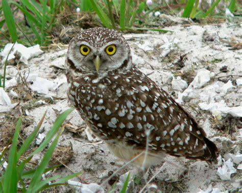 burrowing owl birdspix