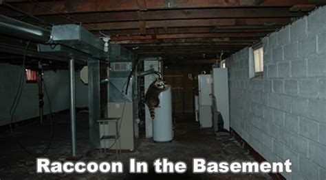 raccoon in the basement - In The Basement
