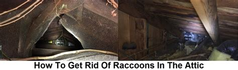 How To Get Rid Of Raccoons In My Backyard How To Get Rid How To Get Rid Of Raccoons In Your Backyard