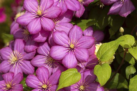 blumen im herbst 4293 clematis pflanzen sch 246 ne kletterpflanzen f 252 r den garten