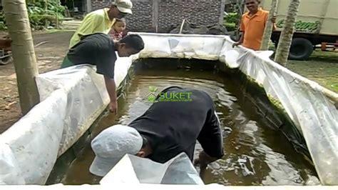 Panen Ikan 25 Bulan panen ikan gurameh kolam plastik usia 8 bulan